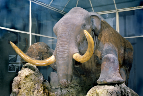 scarecrow of the Berezovsky mammoth in Zoological Museum of the Zoological Institute of the Russian Academy of Sciences