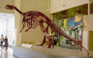 Muttaburrasaurus skeleton in the Queensland Museum